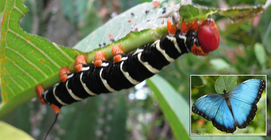 Blue Morpho caterpillar and butterfly