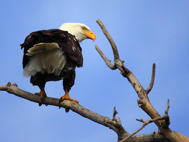 IMG_6328 Bald Eagle