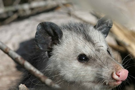 Opossum Control in NJ
