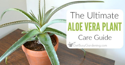 Aloe Vera Plant Care: The Ultimate Guide For How To Grow Aloe Vera