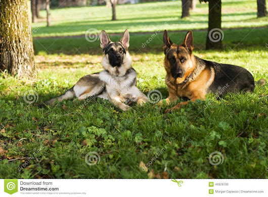 Two dogs stock image. Image of breed, sunny, pair, meadow - 46929793