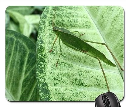 maycintadamayantixibb: Green Grasshopper Looks Like Leaf