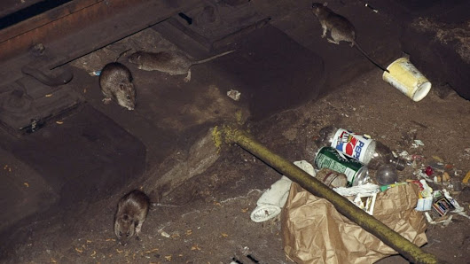 Cluster of rat-related disease discovered in Bronx section of New York, 1 dead - ABC News