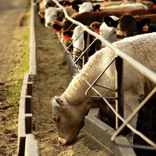 Managing dust in beef feedlots - Canadian Cattlemen
