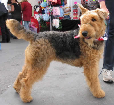 Airedale Terrier Breeds and Photos and Videos  List of Dogs Breeds