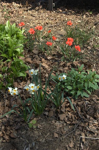 Daffodils and Tulipa linifolia
