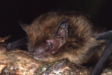 <p>El murciélago (<em>Pipistrellus murrayi</em>)que se ha extinguido de la Isla de Navidad. / IUCN</p>