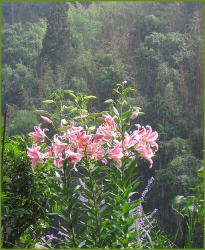 02 lilies in sun and rain