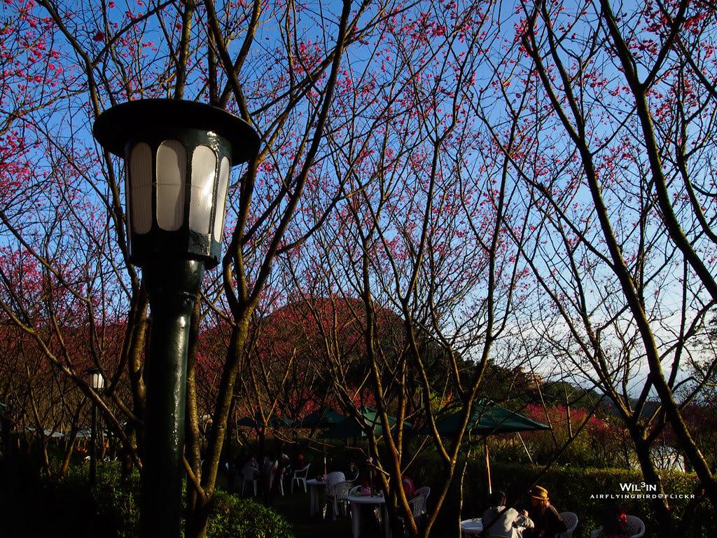 2012 陽明山櫻花