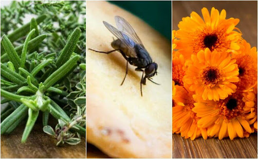 6 Home Remedies to Repel Flies - Step To Health