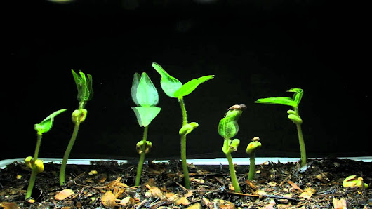 Stage of mung bean growth