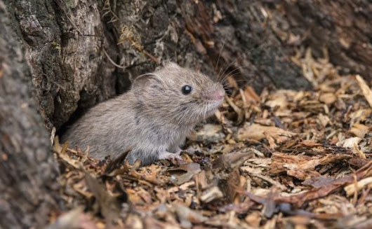 How to Put a Stop to Vole Girdling | Complete Tree Care