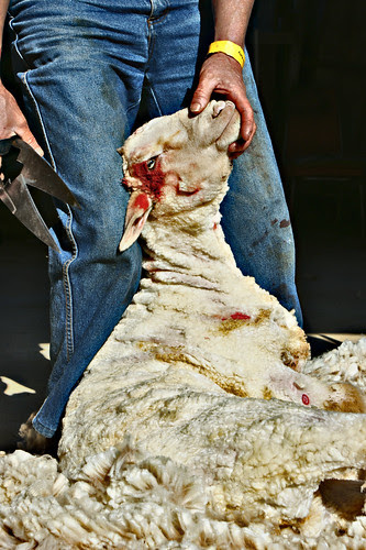 Australia Shearing the old way