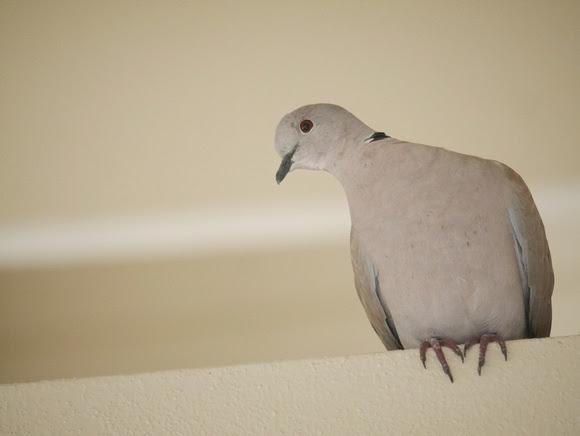 Ed Gaillard: birds &emdash; Eurasian Collared-Dove, New Providence, Bahamas