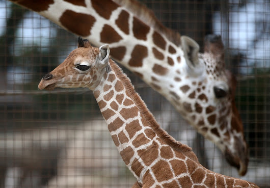 Giraffe Giving Birth On Live Cam Update: April Kicks Vet As Pregnant Belly Swells