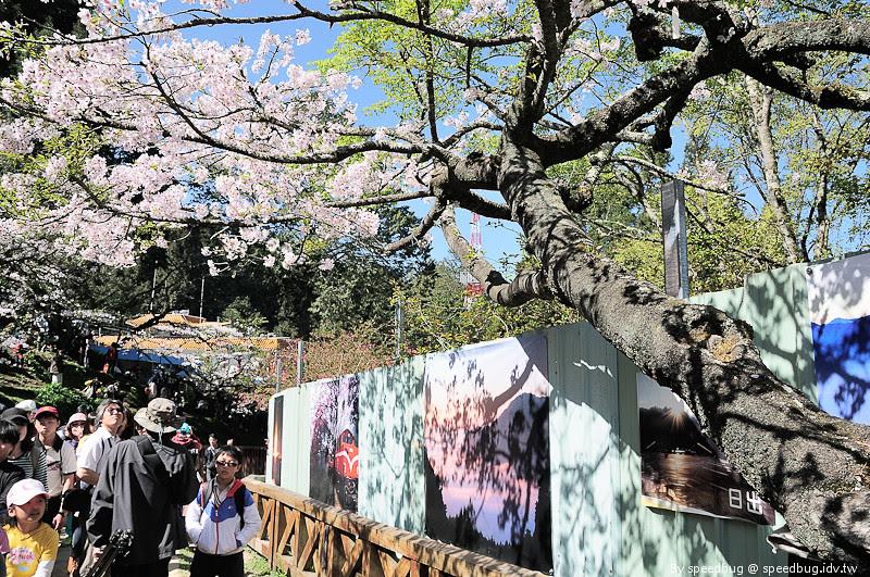 阿里山櫻花季36