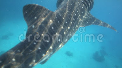 Whale Shark Underwater Being Fed Krill Stock Footage - Video: 43698936
