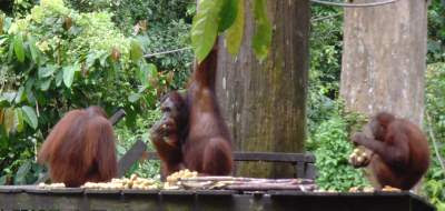 See the Orang Utans in Borneo