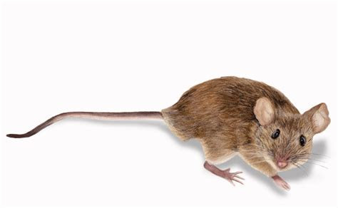 Mice & Rodent Control in Minneapolis   Rainbow Pest Experts