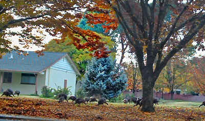 turkeys.jpg (185633 bytes)
