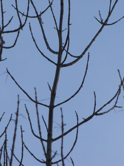 green ash branches