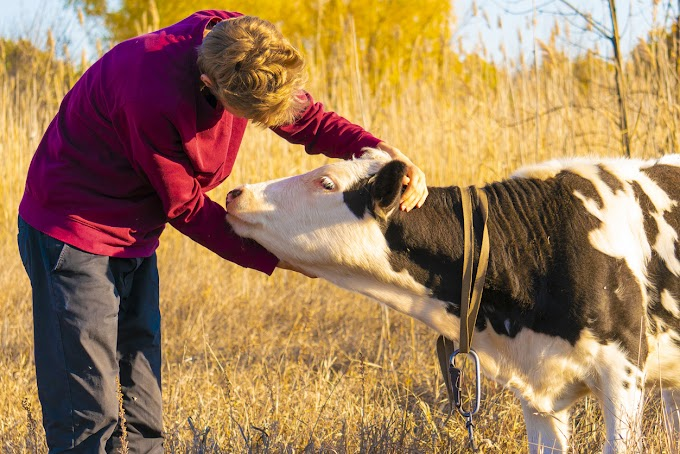 TREND ESSENCE: Cow-hugging, an alleged wellness fad, has people cuddling farm animals to relieve stress