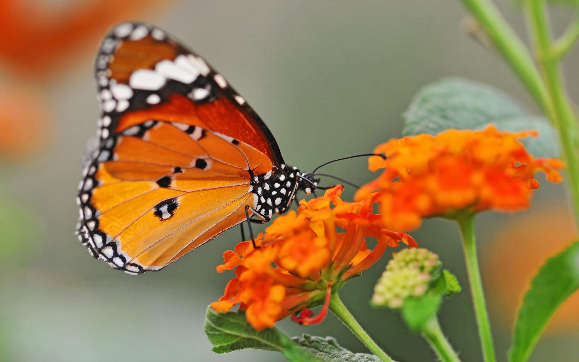 Free Desktop Wallpaper Butterflies Flowers - WallpaperSafari