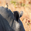 Red-Billed Oxpecker on a Rhino