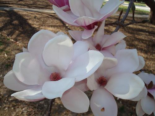 Lehigh Magnolia
