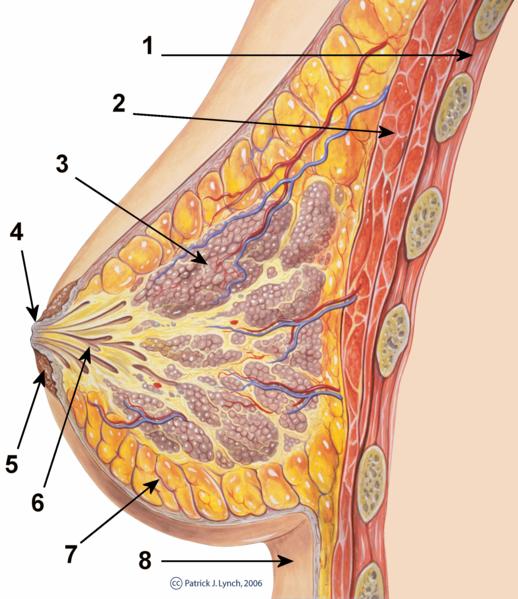 Ficheiro:Breast anatomy normal scheme.png