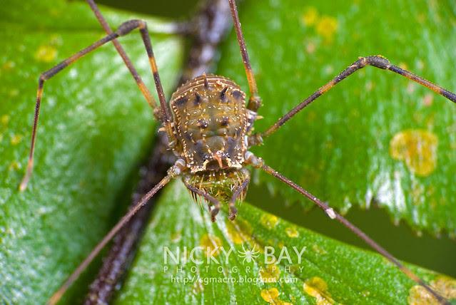 Harvestman (Opiliones) - DSC_0612