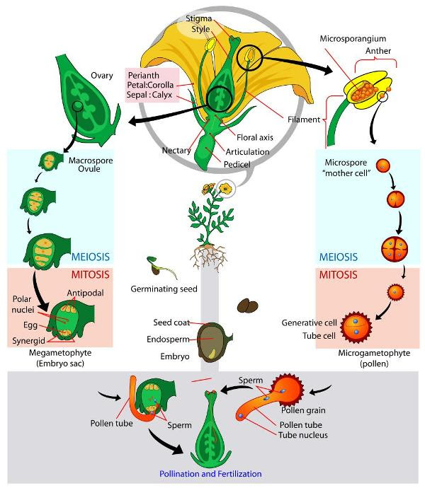 plant_flowering_life_cycle_lg