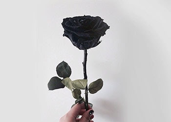 Understanding What Does A Black Rose Mean All Rose Color Meanings