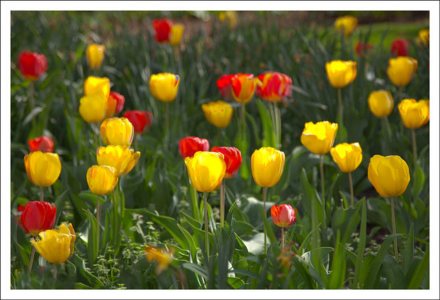 2012-03-24 Tulips Downtown 1
