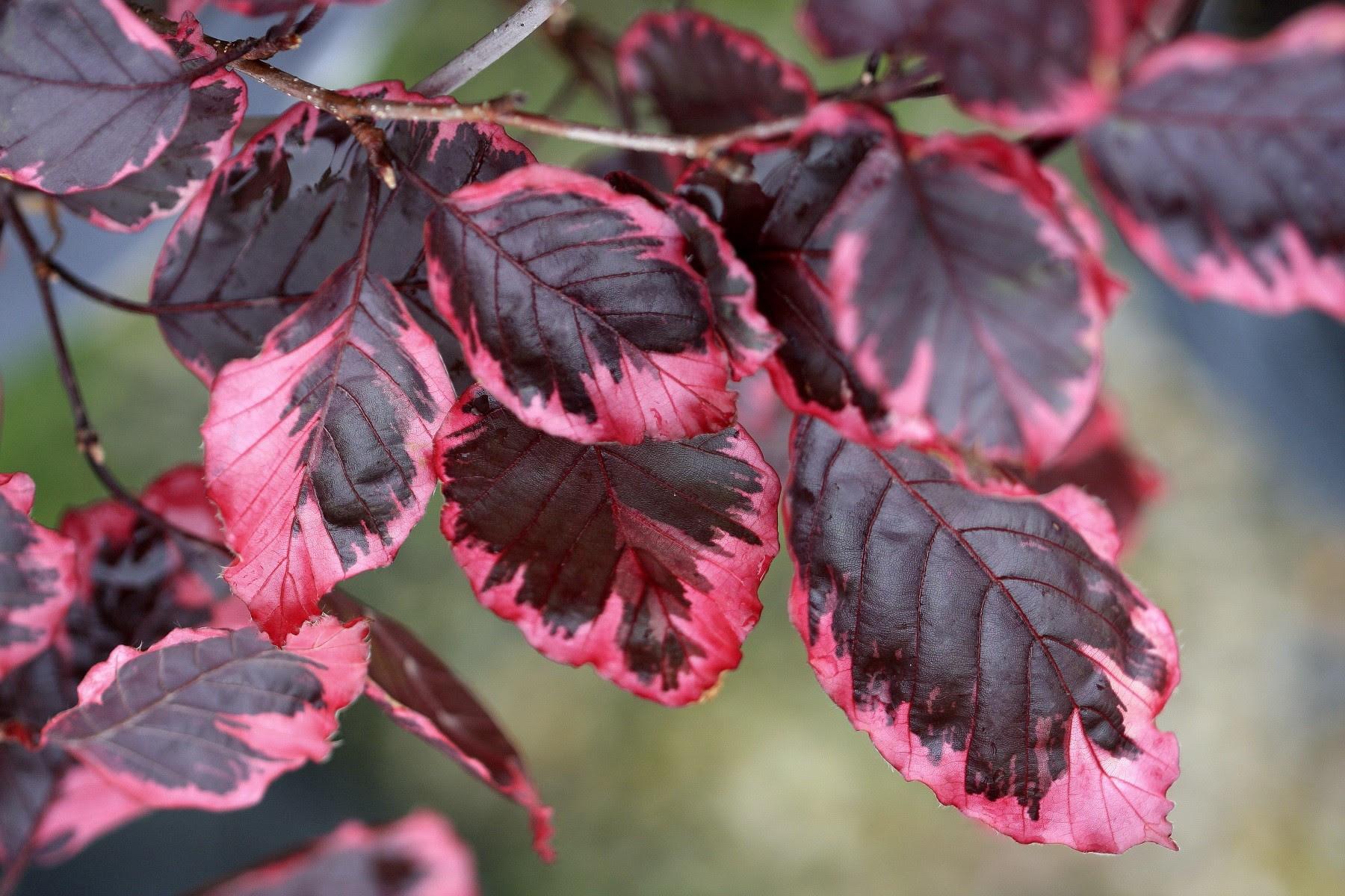 Tri Color Beech Thetreefarmcom