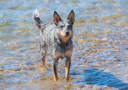 Smart, Hard-Working, Athletic, and Loyal: So Many Reason to Love the Australian Cattle Dog - American Kennel Club