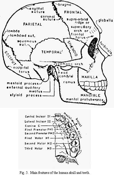 Features of Human Skull and Teeth