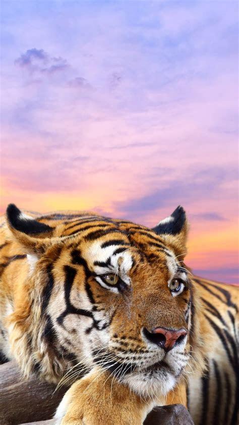 wallpaper tiger hd  animals