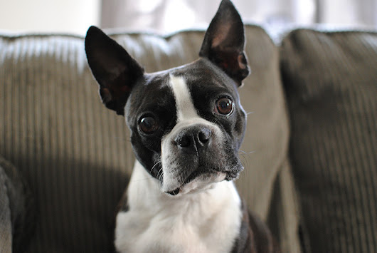 8 Interesting Facts about the Boston Terrier Breed