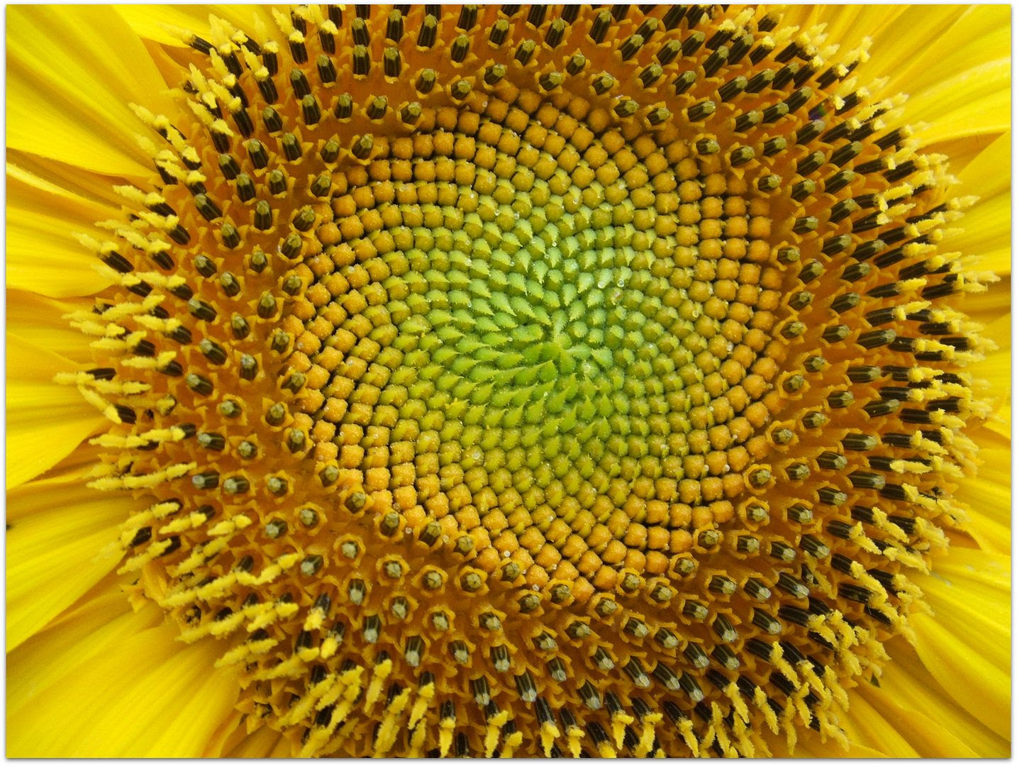 Giant Gray Stripe Sunflower by Angie Ouellette-Tower for godsgrowinggarden.com photo 008_zps5cdf831c.jpg