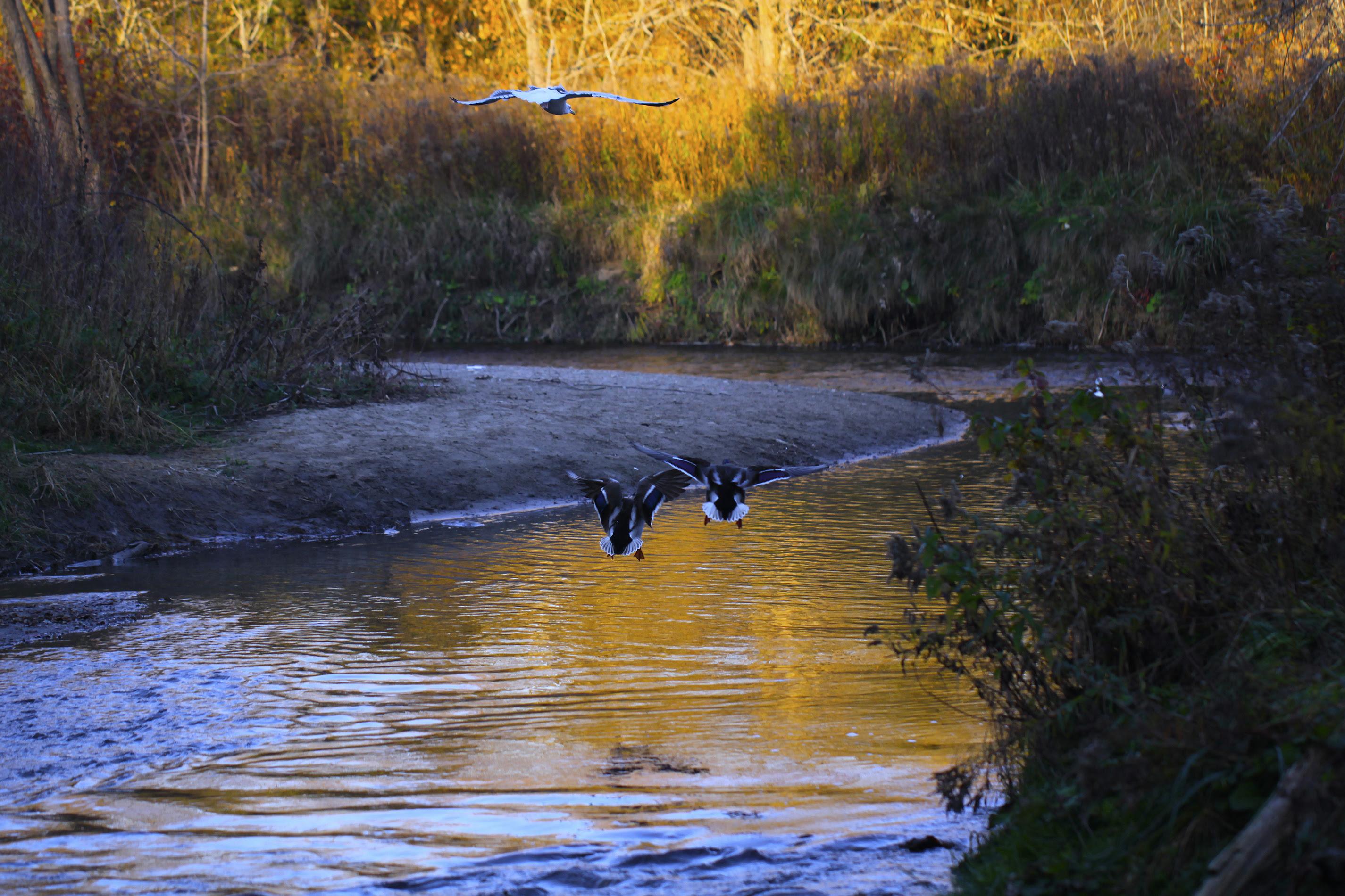 ducks landing