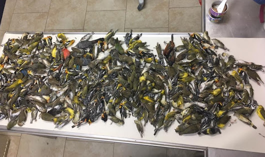 Bird experts call for community action after 398 birds crash into Galveston building