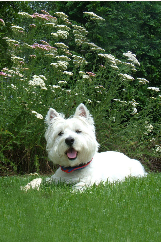 Buy Westie Puppies In Mississippi USA
