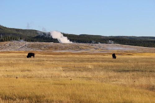 IMG_2143_Buffalo_&_Steam_Yellowstone_NP