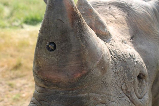 Rhinos Get Camera Implants in Their Horns to Fight Against Poachers