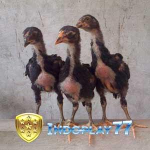 65 Gambar Ayam Umur 2 Minggu Paling Hist