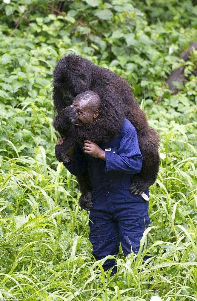 Hình ảnh Tình bạn giữa khỉ đột khổng lồ và con người ở rừng sâu số 3