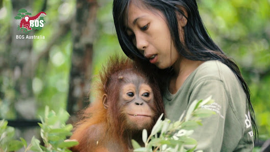 Bornean Orangutan The King Of The Trees - Wild Animals In Wild Lands