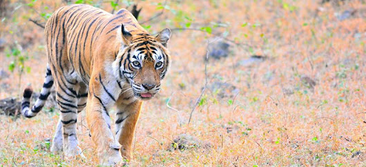 Machli: A Royal Tigress Symbolizing the Glory of Ranthambore National Park