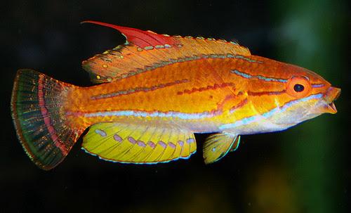 Paracheilinus flavianalis
